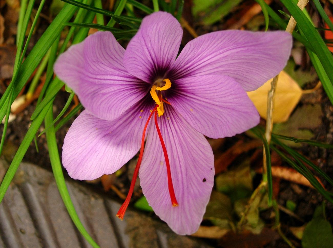 Saffranskrokus (Crocus sativus). Foto: Maj-Lis Åkesson.