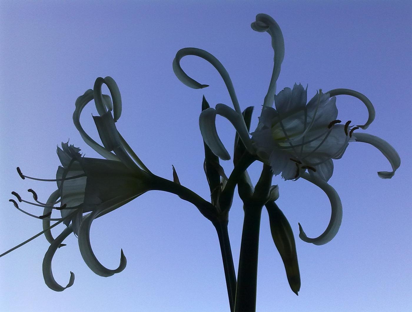 Spindellilja (Hymenocallis x festalis 'Zwanenburg'). Foto: Dan Abelin.