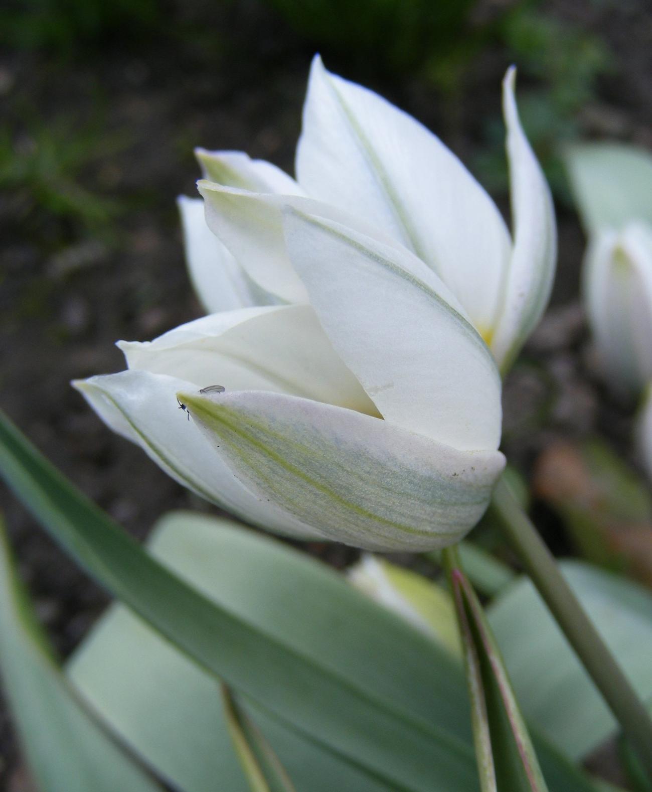 Porslinstulpan (Tulipa polychroma). Foto: Monica Bjerkeus.