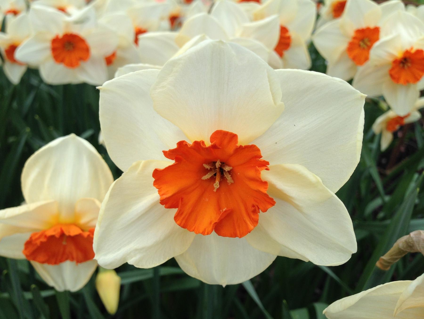 Narcissus 'Kissproof'. Foto: Dan Abelin.
