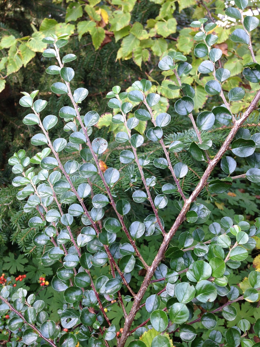 Arboretumvisning (Cotoneaster hjelmqvistii). Foto: Dan Abelin.