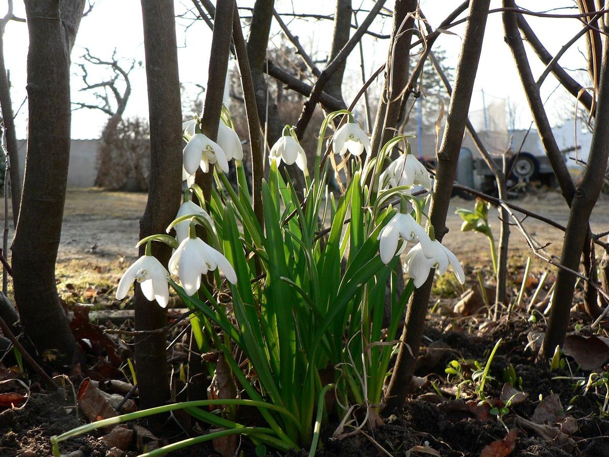Galanthus 'Flore Pleno'. Foto: Ulrika Rosengren.