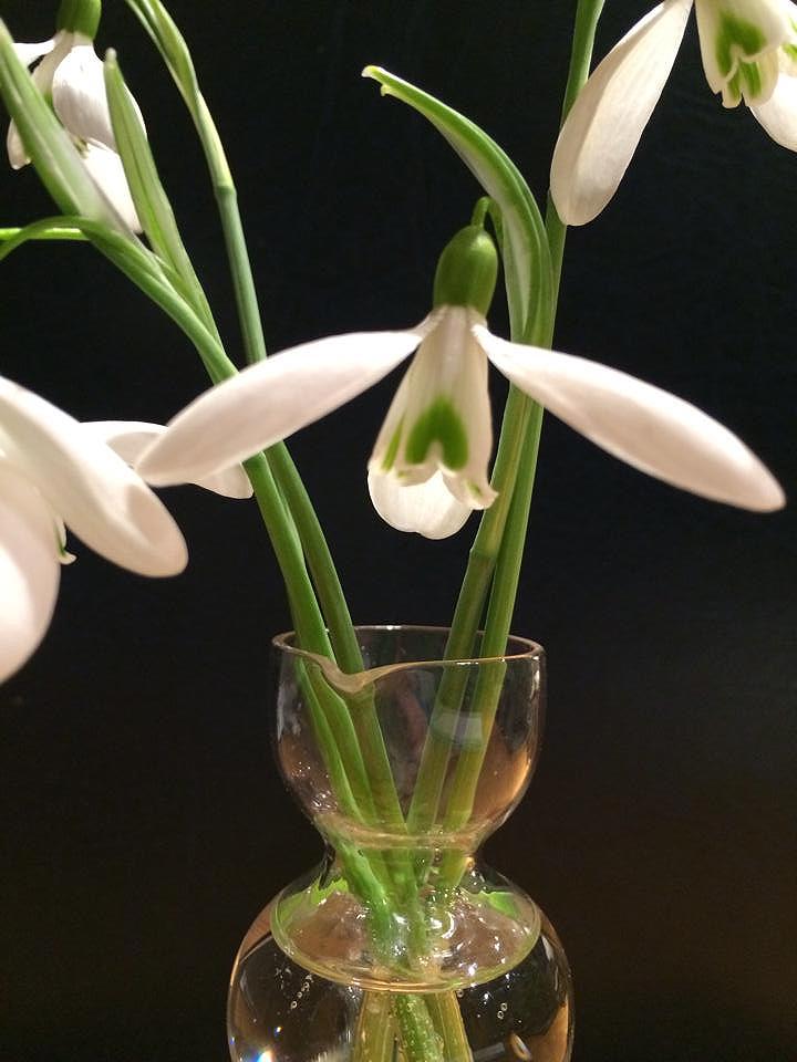 Galanthus 'Magnet'. Foto: Ulrika Rosengren.