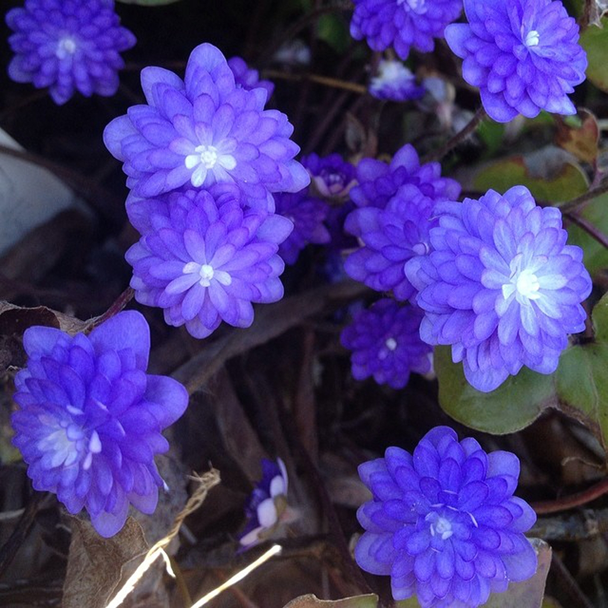 Hepatica nobilis 'Tällberg'. Foto: Annica Alvén.