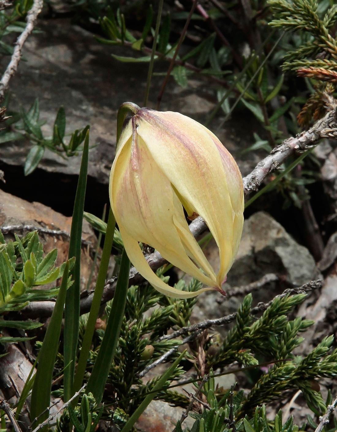 Lilium lophophorum. Foto: Maryla Wallin.
