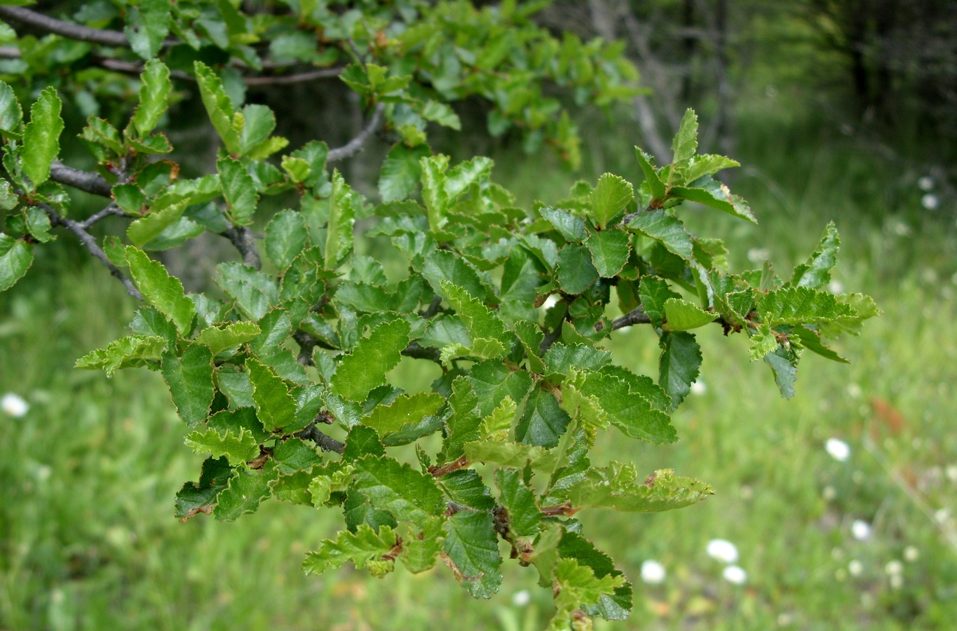 Nothofagus antarctica – rama con brotes. Licensed under Creative Commons Attribution-Share Alike 3.0 via Wikimedia Commons - http://commons.wikimedia.org/wiki/File:Nothofagus_antarctica_-_rama_con_brotes.JPG