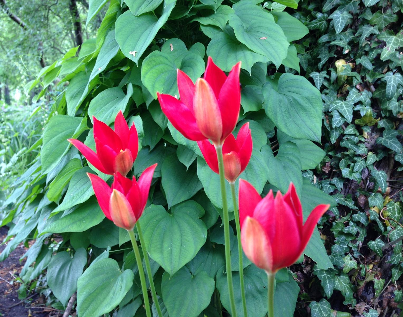Sommartulpaner (Tulipa sprengeri). Foto: Dan Abelin.
