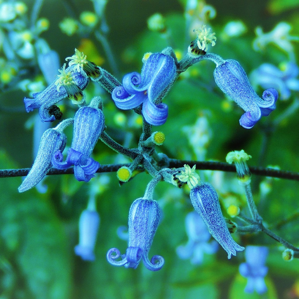 Trumpetklematis (Clematis heracleifolia 'Cassandra'). Foto: Gert-Inge Persson.