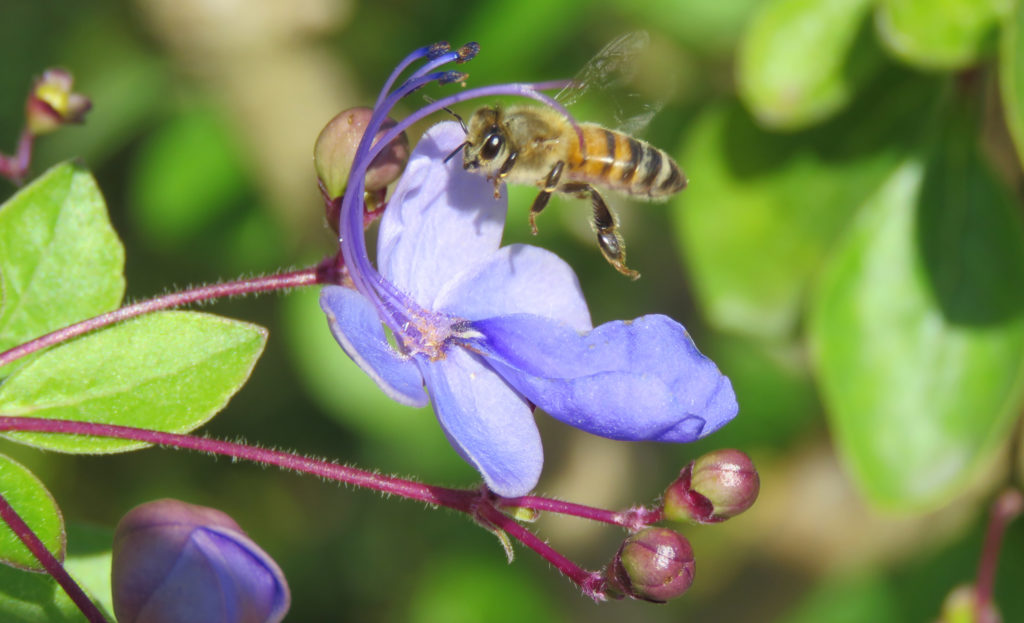 Bi på Clerodendrum myricoides 'Ugandense'. Foto: Dan Abelin.