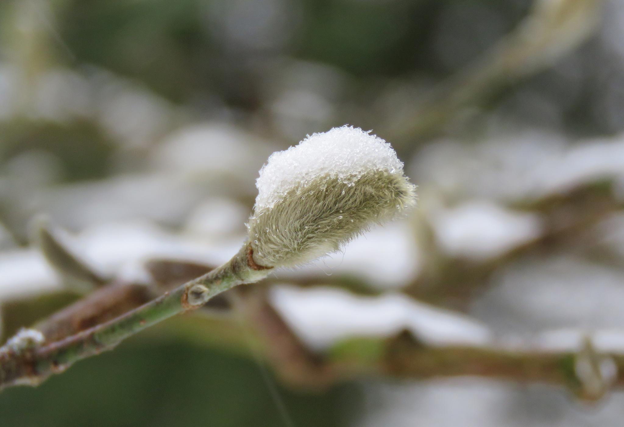 Knopp av hybridmagnolia, Magnolia × loebneri. Foto: Dan Abelin.