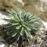 Praktbräcka (Saxifraga longifolia). Foto: Dan Abelin.