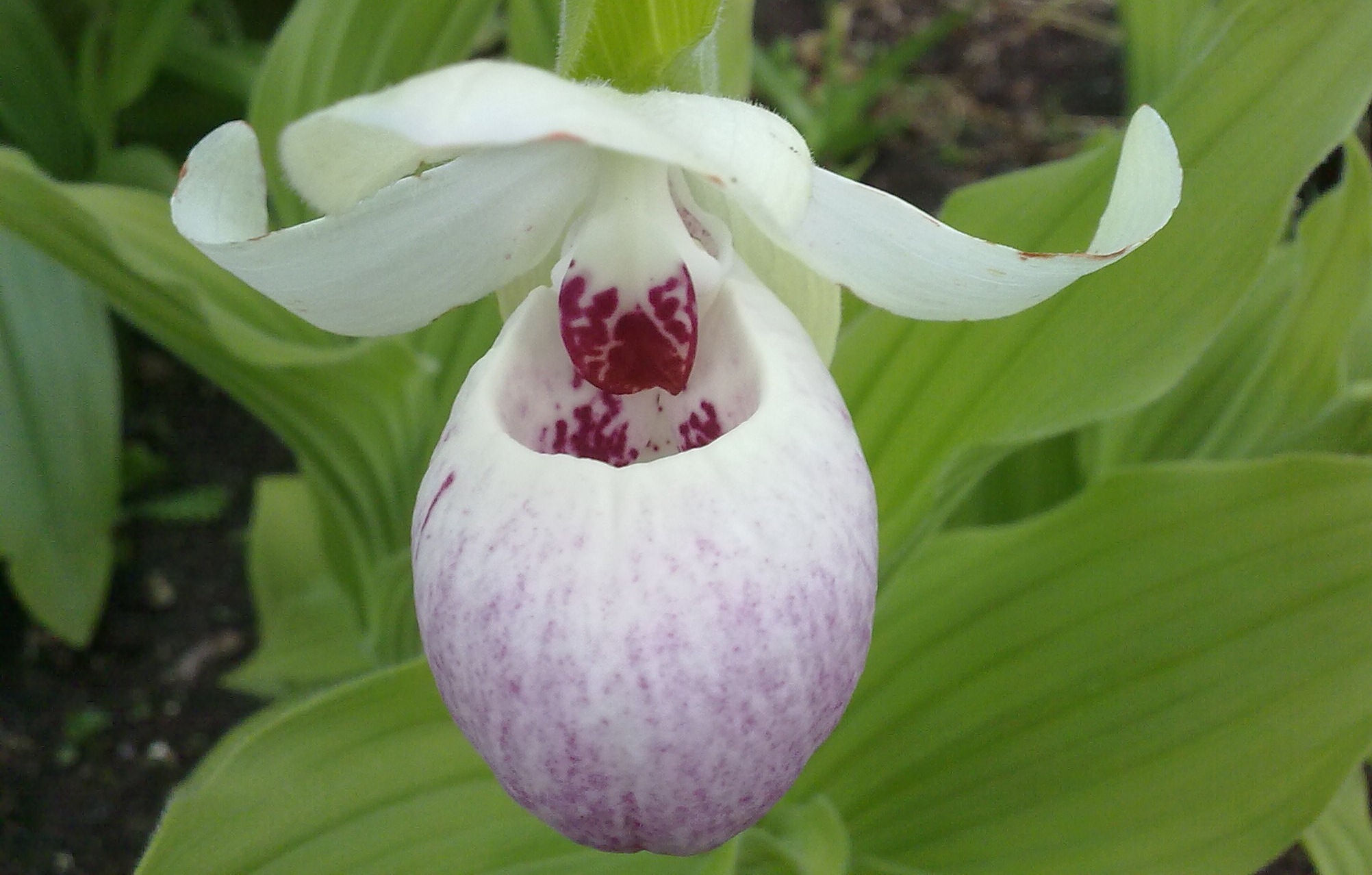 Cypripedium. Foto: Dan Abelin.