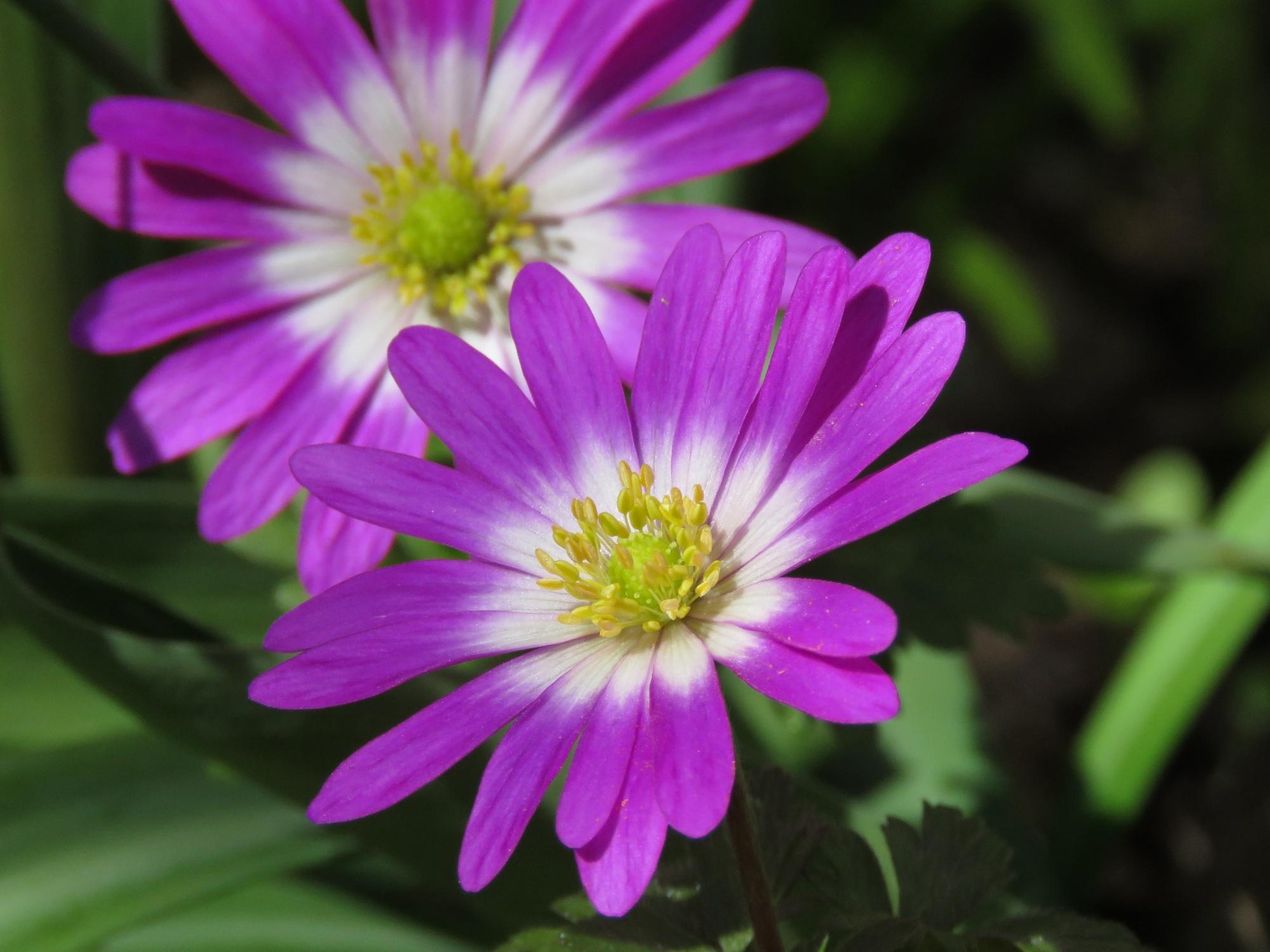Balkansippa (Anemone blanda 'Radar'). Foto: Dan Abelin.