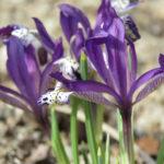 Våriris (Iris reticulata 'Spot On'). Foto: Dan Abelin.