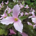 Rosa treblad (Trillium grandiflorum 'Gothenburg Pink Strain'). Foto: Dan Abelin.
