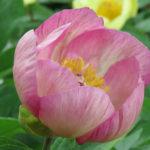 Sidenpion (Paeonia wittmanniana). Foto: Dan Abelin.