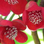 Röd fjärilsranka (Schisandra rubriflora). Foto: Dan Abelin.