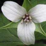 Treblad (Trillium sp.). Foto: Dan Abelin.