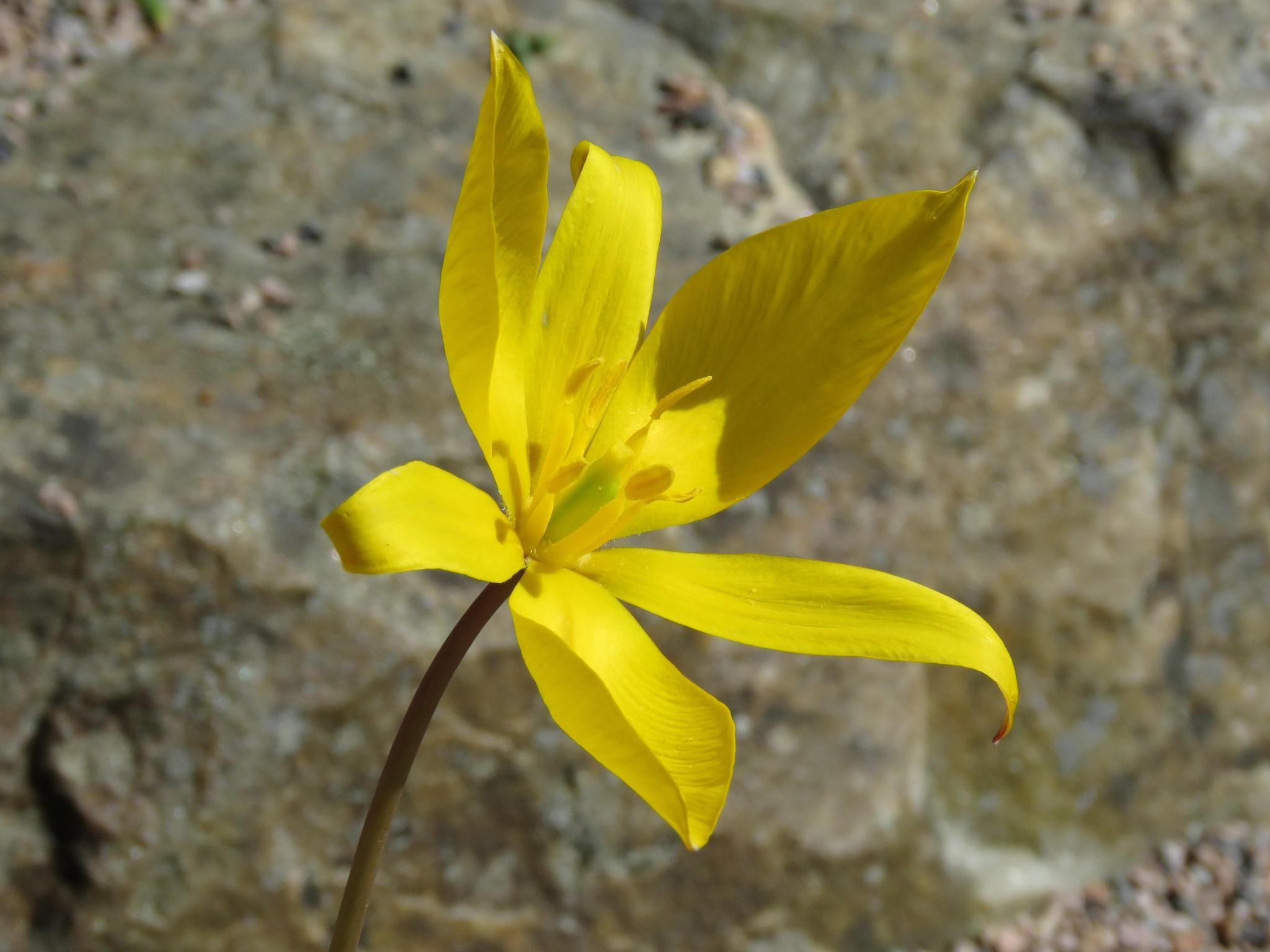 Vildtulpan (Tulipa sylvestris). Foto: Dan Abelin.
