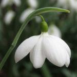 Galanthus plicatus 'E. A. Bowles'. Foto: Dan Abelin.