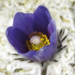 Backsippa (Pulsatilla sp.). Foto: Dan Abelin.