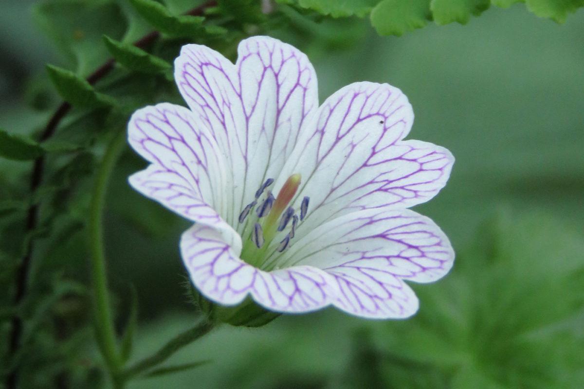 Ådernäva (Geranium versicolor). Foto: Dan Abelin.