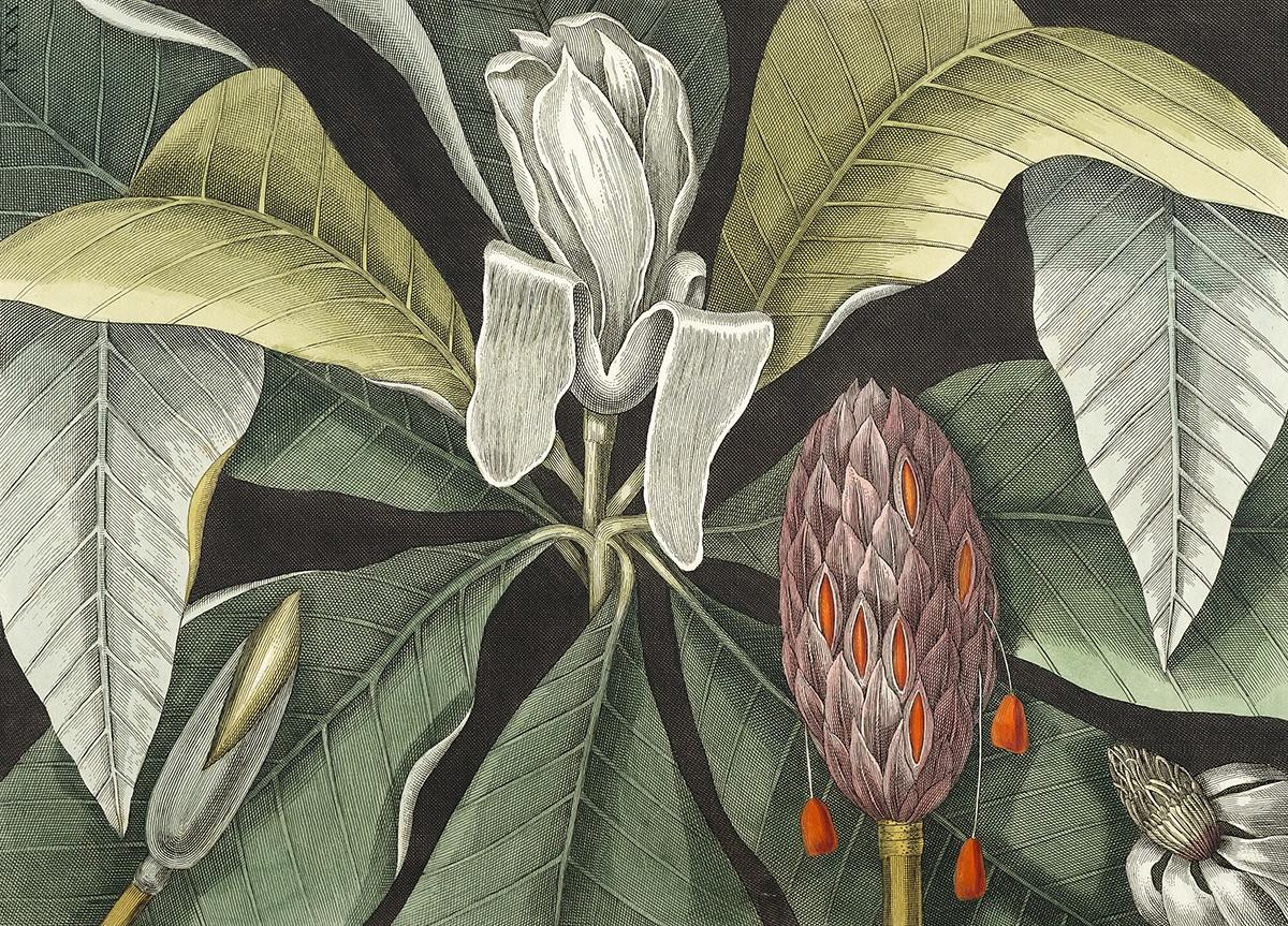 Magnolia (illustration av Mark Catesby).