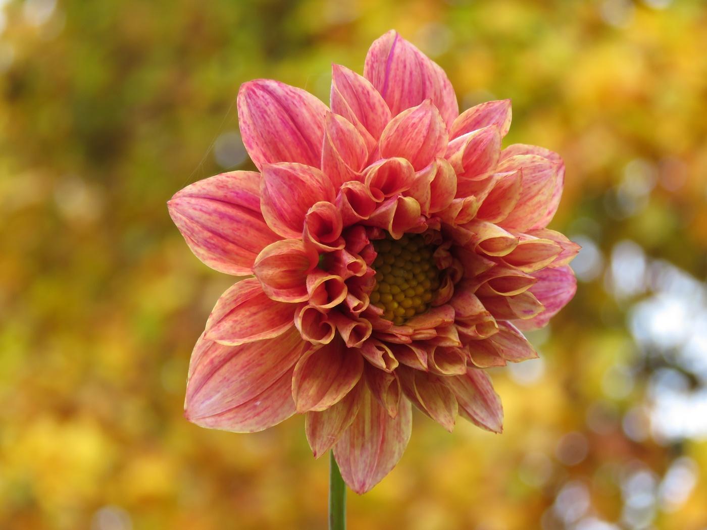 Kulturarvsdahlia från Pom (Dahlia × pinnata). Foto: Dan Abelin.