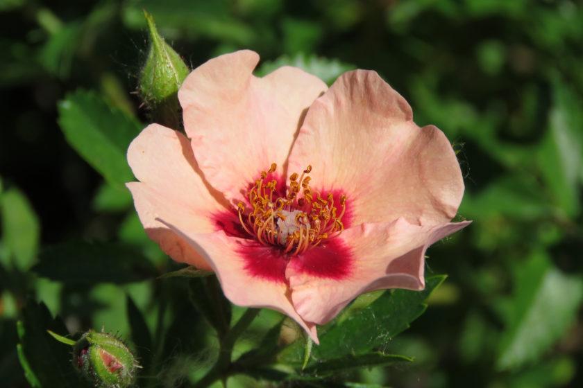 Rosa (Persica-Gruppen) 'Harunique'. Foto: Dan Abelin.
