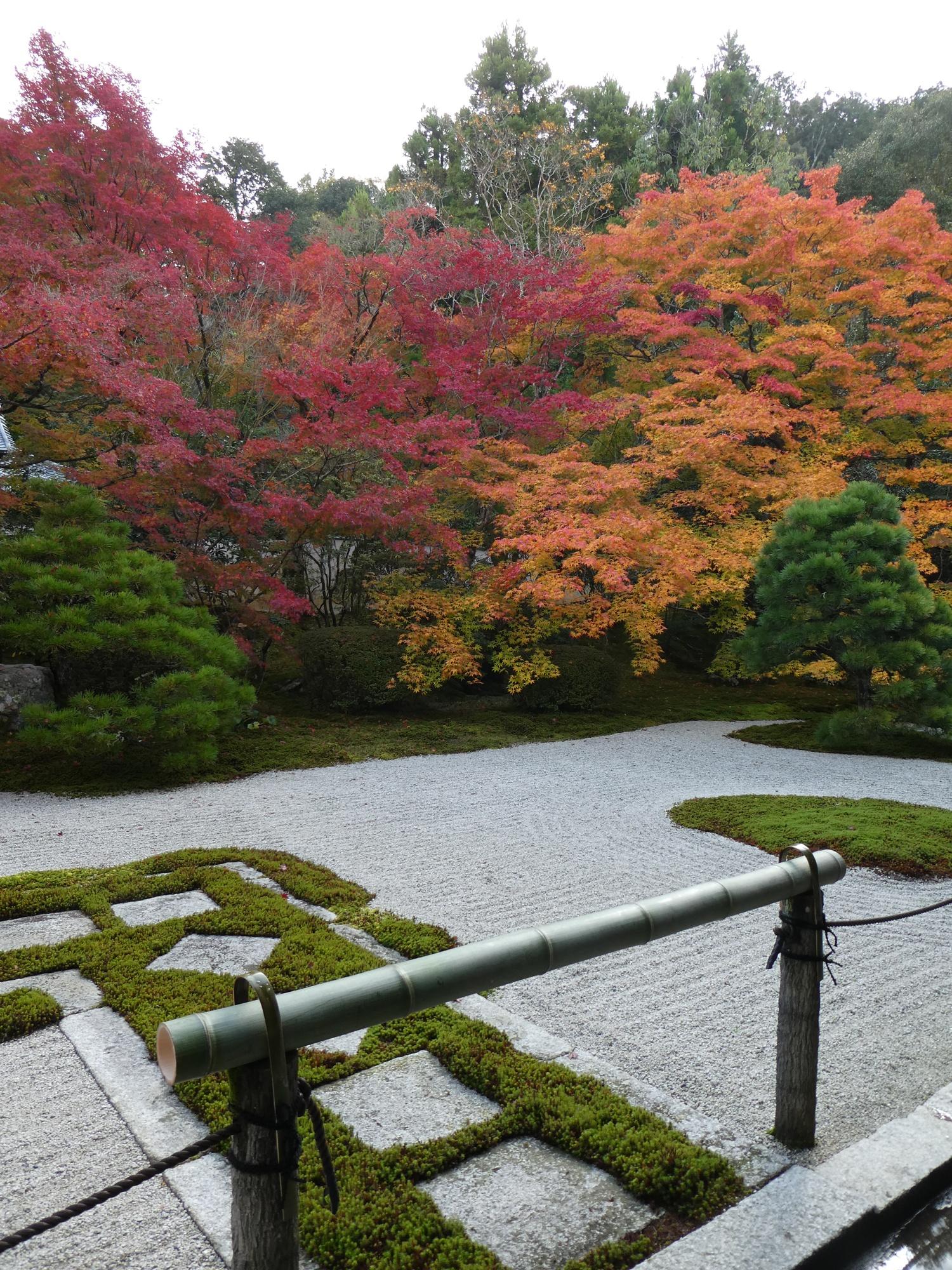 Japansk lönn (Acer palmatum) i Kyoto (Foto: Thord Ohlsson)