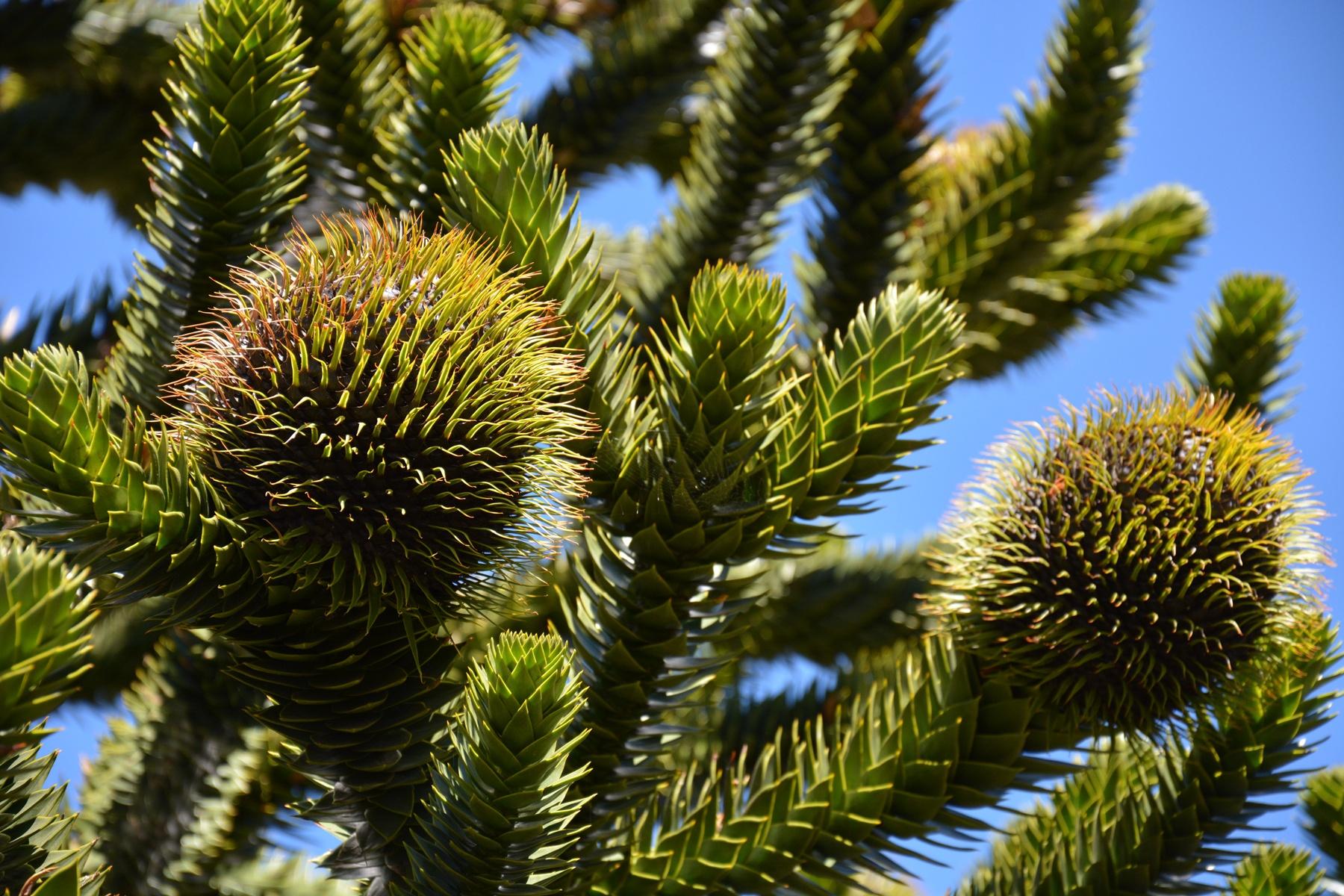 Brödgran (Araucaria araucana). Foto: Jonatan Leo.