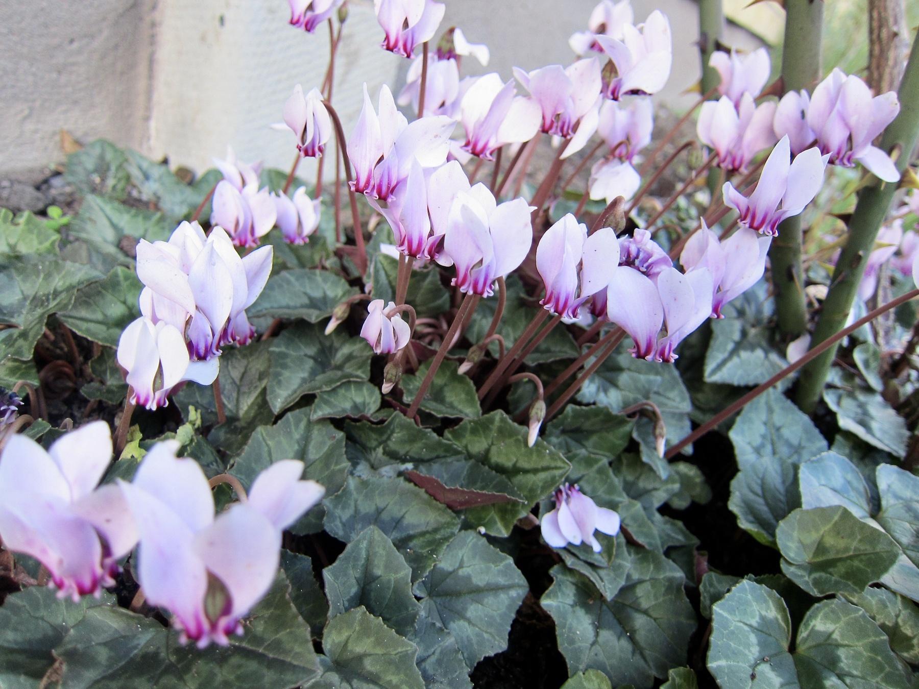 Höstcyklamen (Cyclamen hederifolium). Foto: Marie Widén.