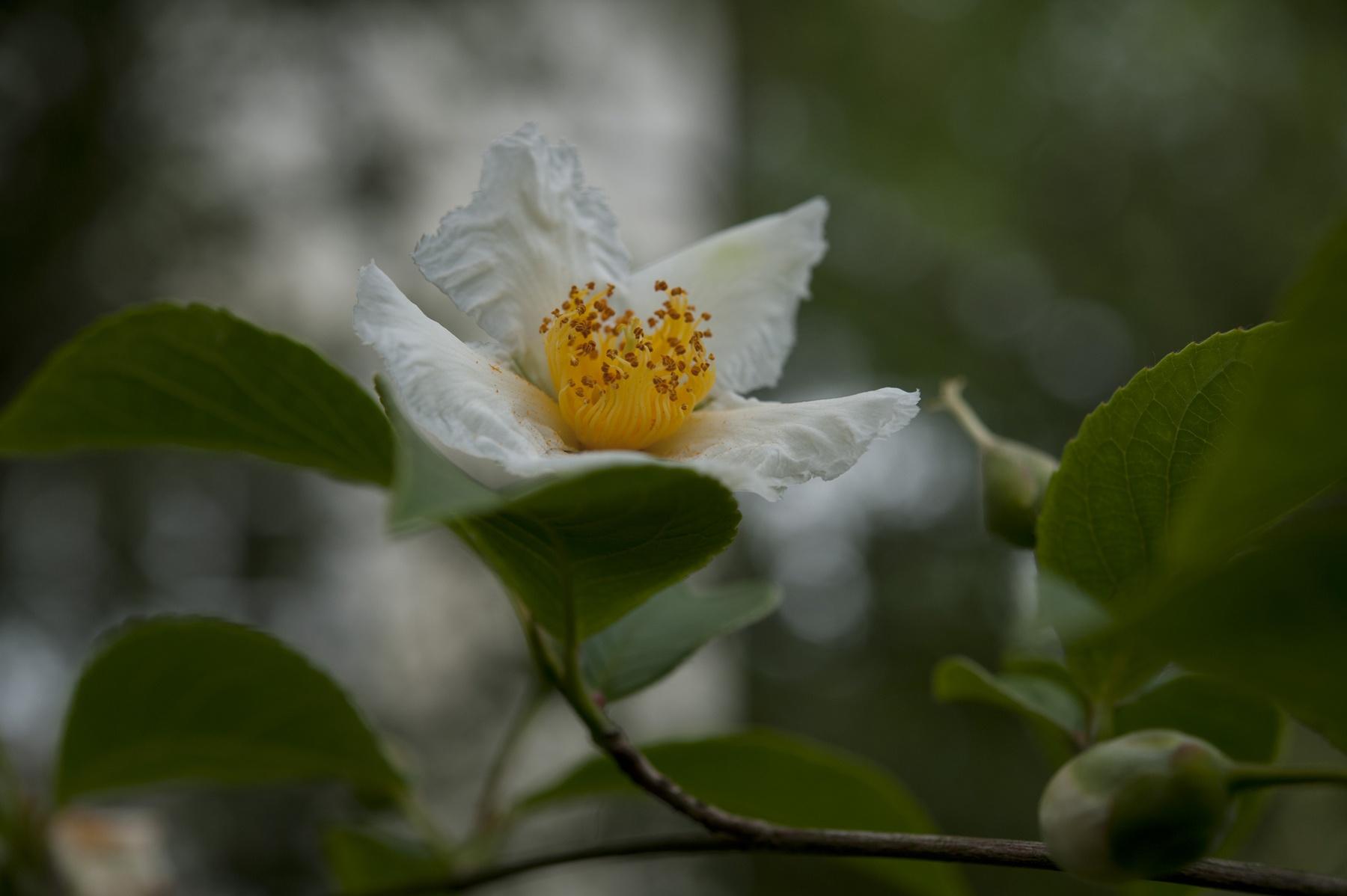 Japansk skenkamelia (Stewartia pseudocamellia). Foto: Karin Berglund.